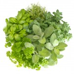 © LiliGraphie - Fotolia.com ( variety fresh herbs isolated on white/#45339781