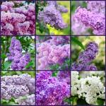 © Roxana - Fotolia.com (Lilac collage/#48321150
